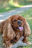 骑士国王查尔斯狗在红宝石的布朗在棍子嚼 免版税库存照片