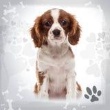 骑士国王查尔斯狗小狗开会的正面图 免版税库存照片