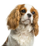 骑士国王查尔斯狗的特写镜头 免版税图库摄影