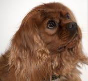 骑士国王查尔斯狗,亦称英国玩具西班牙猎狗,红宝石 库存图片