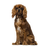 骑士国王查尔斯狗(8个月) 免版税库存图片