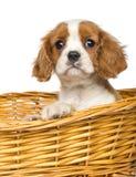 骑士国王查尔斯Puppy, 2个月的特写镜头 免版税图库摄影