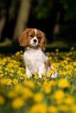 骑士查尔斯国王小狗sittin西班牙猎狗 库存图片