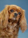 骑士查尔斯国王红宝石西班牙猎狗 免版税库存图片