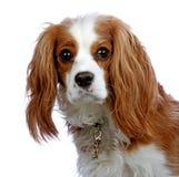 骑士查尔斯国王纵向西班牙猎狗 免版税图库摄影