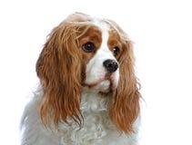 骑士查尔斯国王纵向西班牙猎狗 免版税库存照片