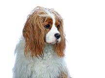 骑士查尔斯国王纵向西班牙猎狗 免版税库存图片
