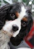 骑士查尔斯国王西班牙猎狗 免版税库存照片