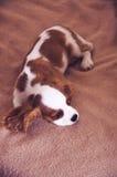 骑士查尔斯国王西班牙猎狗 图库摄影
