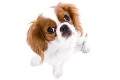骑士查尔斯国王西班牙猎狗 免版税图库摄影