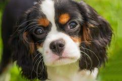 骑士查尔斯国王西班牙猎狗 免版税库存图片