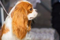 骑士查尔斯国王西班牙猎狗 库存图片