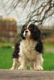骑士查尔斯国王骄傲的西班牙猎狗 免版税库存照片