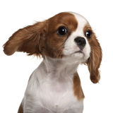 骑士查尔斯接近的国王小狗西班牙猎狗 免版税图库摄影
