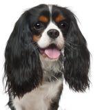 骑士查尔斯接近的国王西班牙猎狗 免版税图库摄影