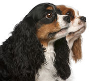 骑士查尔斯接近的国王西班牙猎狗 库存照片