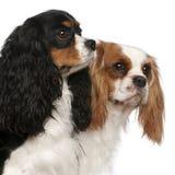 骑士查尔斯接近的国王西班牙猎狗 免版税库存图片
