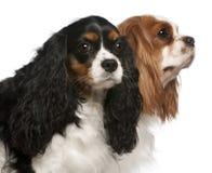 骑士查尔斯接近的国王西班牙猎狗 免版税库存照片