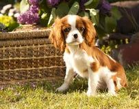 骑士查尔斯狗国王西班牙猎狗 免版税图库摄影