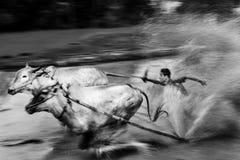 骑师在泥泞的领域的骑马公牛在Pacu Jawi公牛赛跑节日 免版税库存照片