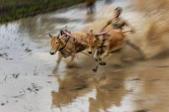 骑师在泥泞的领域的骑马公牛在Pacu Jawi公牛赛跑节日 库存图片