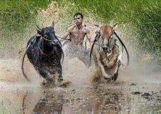 骑师在泥泞的领域的骑马公牛在Pacu Jawi公牛赛跑节日 免版税图库摄影