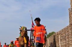 骑师带领在Madura公牛种族,印度尼西亚的公牛 免版税图库摄影