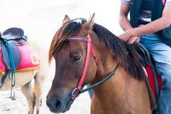 骑美丽的布朗马的人牛仔特写镜头在海滩 免版税库存图片