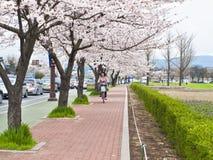 骑自行车的妇女在开花的樱桃树下 免版税库存照片