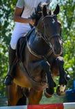 骑马在jodhpurs的展示跳跃的特写镜头马车手 免版税库存图片
