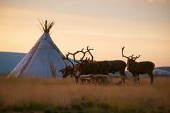 骑马驯鹿队在驯鹿交配动物者的解决的在黎明的 极区,俄罗斯 免版税库存照片