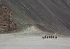 骑马骆驼在拉达克,印度 免版税图库摄影