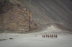 骑马骆驼在拉达克,印度 图库摄影