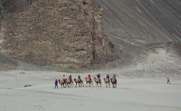 骑马骆驼在拉达克,印度 免版税库存照片