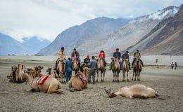 骑马骆驼在拉达克,印度 库存照片