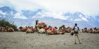骑马骆驼在拉达克,印度 免版税库存图片