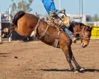 骑A顽抗的野马的牛仔在国家圈地 库存图片