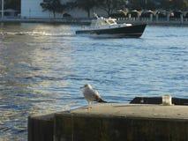 骗共同的名字绿灰色飞过的鸥科学名字鸥属glaucesens和小船 免版税库存图片
