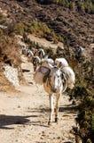 骡子在喜马拉雅山地区的运载材料 免版税库存图片