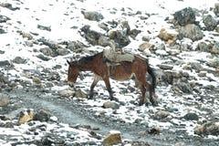 骡子-在途中的冷的多雪的天气对Thorong La通行证,尼泊尔 免版税图库摄影