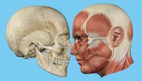 头骨和肌肉外形 库存例证