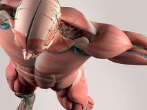 头骨和肩膀人的解剖学细节  肌肉,动脉 在简单的演播室背景 皇族释放例证