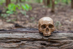 头骨在木材被安置 库存图片