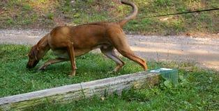 骨头猎犬红色工作 免版税库存照片