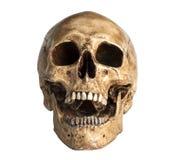 头骨模型 库存照片
