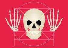 头骨的黄金分割在红色背景的 库存照片