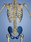 骨盆5, 3D模型 库存照片
