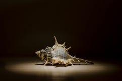 骨螺等壳吸器 库存图片