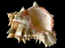 骨螺等热带海运的壳 库存照片