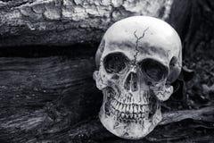 头骨静物画在干树背景的 免版税图库摄影